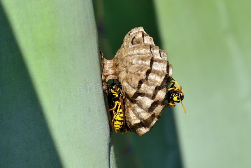 Piccolo nido della vespa immagine stock libera da diritti