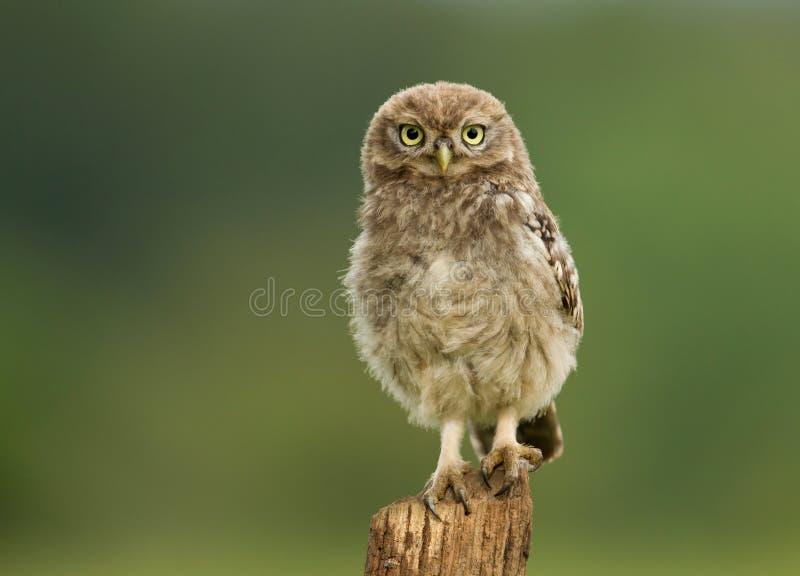 Piccolo noctua giovanile di Owl Athene su una posta fotografia stock