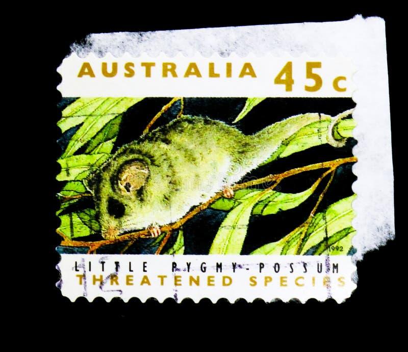 Piccolo opossum pigmeo (lepidus di Cercartetus), ha minacciato il Se di specie fotografie stock libere da diritti