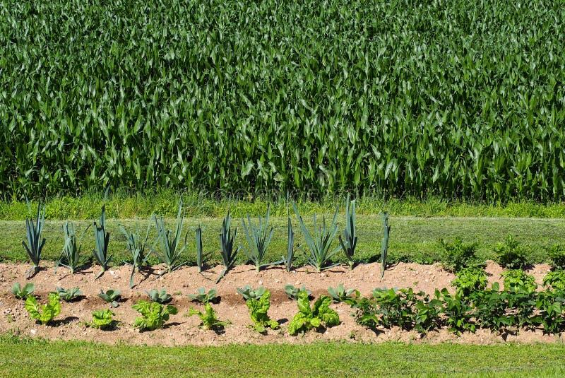 Piccolo orto rurale domestico davanti ad un grande campo di grano fotografie stock libere da diritti