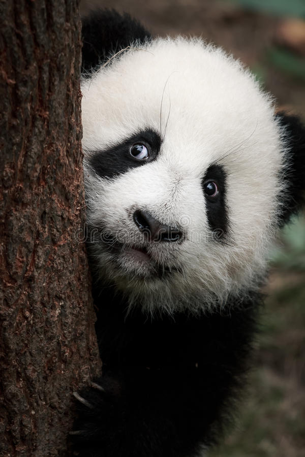 Piccolo panda sveglio immagini stock