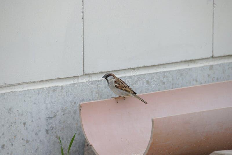 Piccolo passero che si siede sullo scolo della pioggia fotografie stock