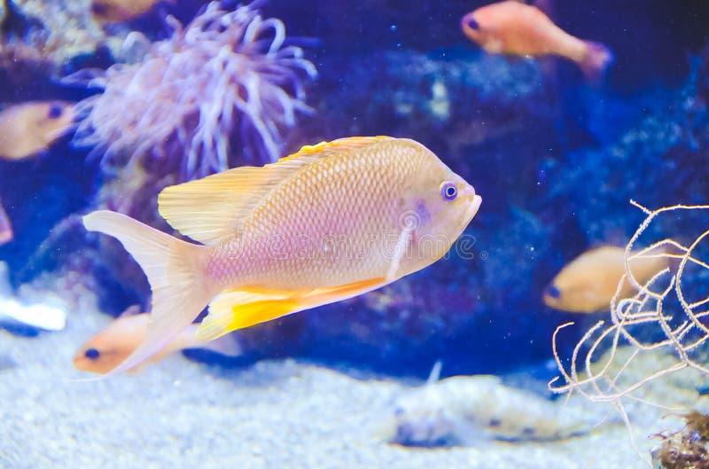Piccolo pesce tropicale dei toni dorati immagine stock libera da diritti