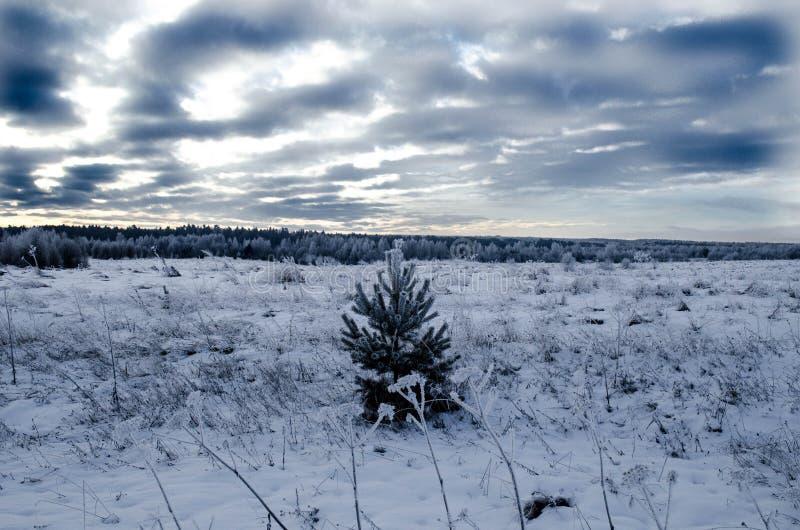 Piccolo pino solo in un campo nevoso fotografie stock libere da diritti