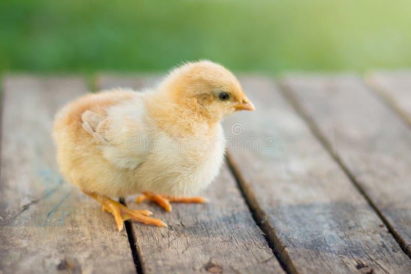 Piccolo pollo giallo su un pavimento di legno Coltivando e vendendo pou fotografie stock