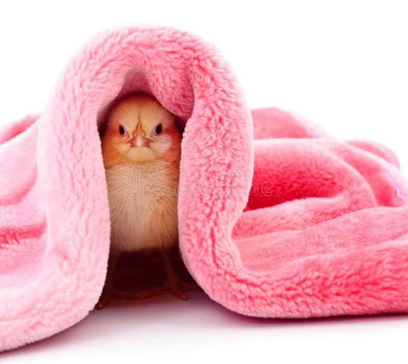 Piccolo pollo sotto una coperta fotografia stock libera da diritti