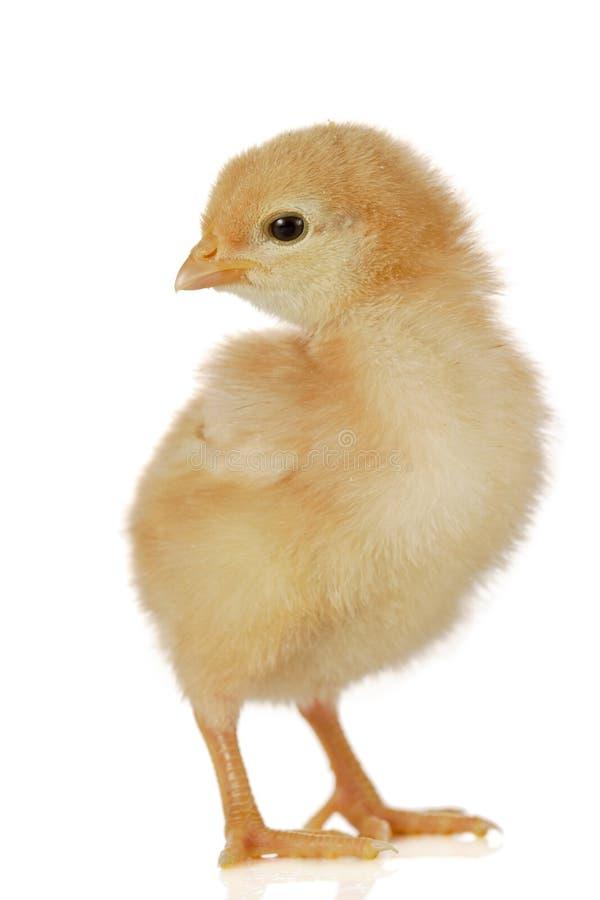 Piccolo pollo sveglio del bambino fotografie stock
