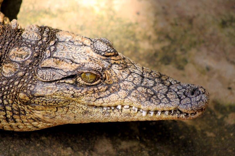 Piccolo primo piano del coccodrillo fotografia stock