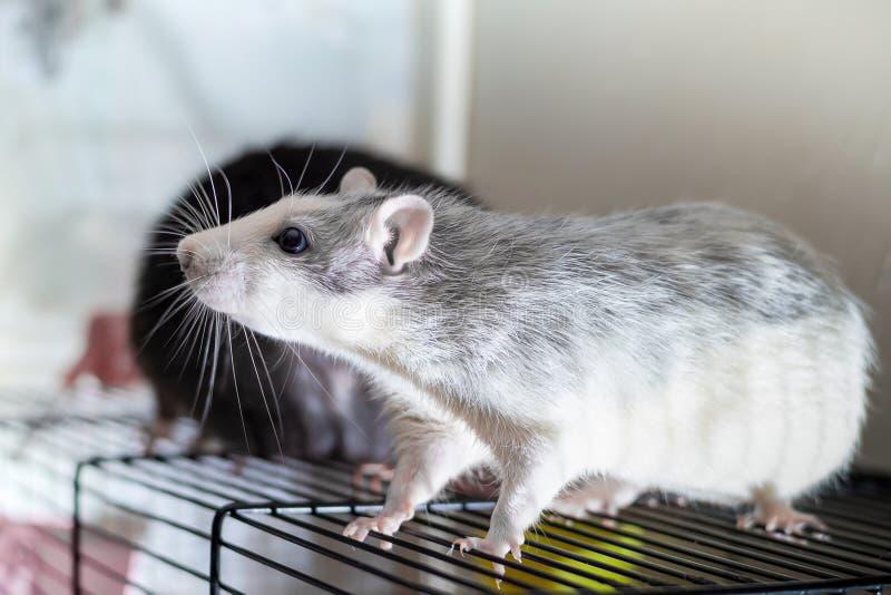 Piccolo profilo sorpreso grigio bianco di sguardo del ratto sul primo piano della griglia su un fondo vago degli animali domestic fotografie stock libere da diritti