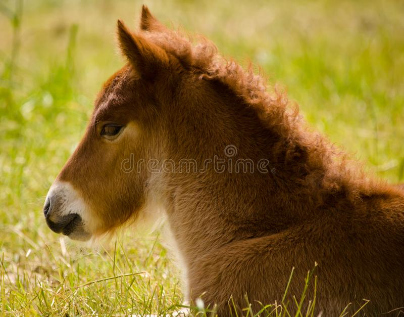 Piccolo puledro marrone sveglio nell'erba immagini stock libere da diritti