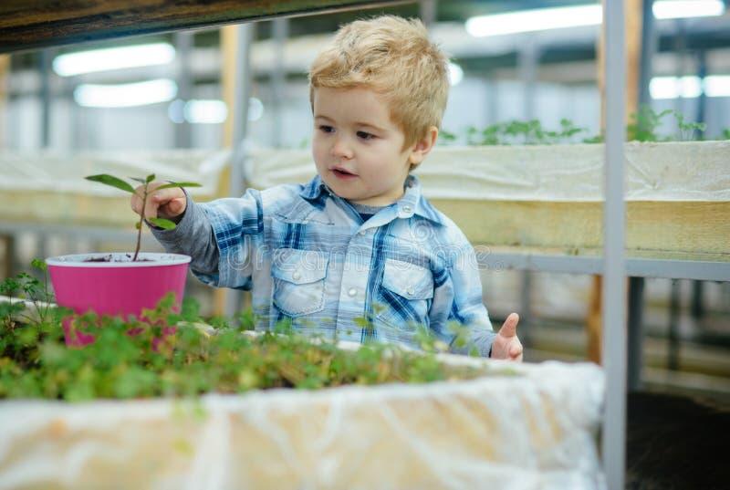 Piccolo ragazzo biondo che pianta fiore in vaso rosa Tempo di divertimento alla serra immagini stock libere da diritti