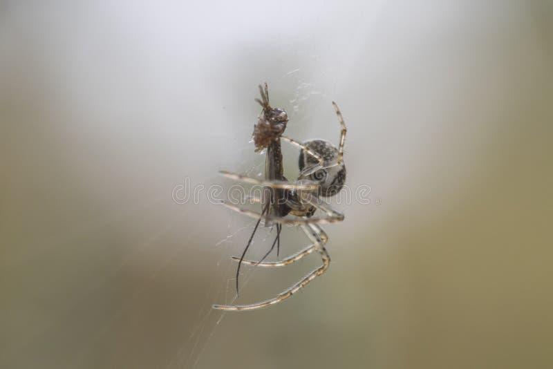 Piccolo ragno dei soldi sul web immagine stock