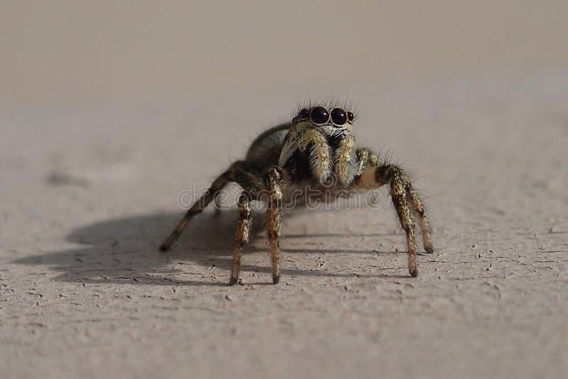 Piccolo ragno di salto a strisce su una parete del metallo immagine stock