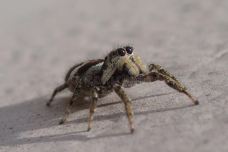 Piccolo ragno di salto a strisce su una parete del metallo immagini stock