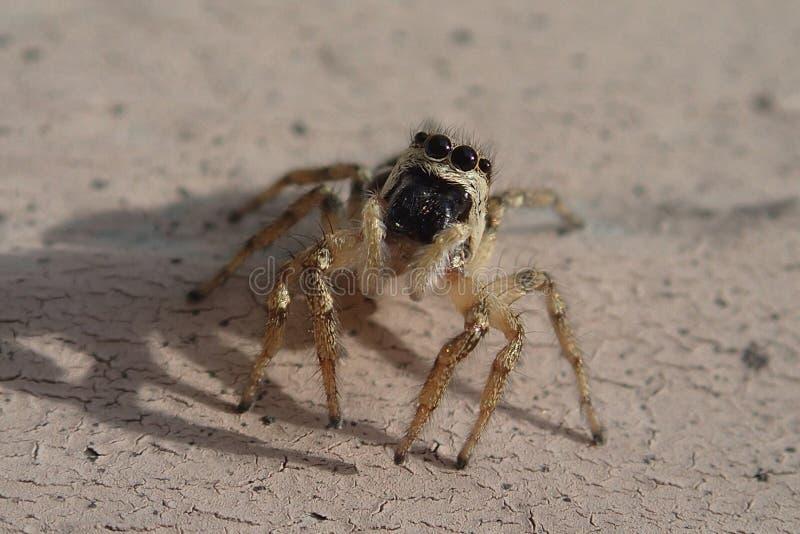 Piccolo ragno di salto a strisce su una parete del metallo fotografia stock
