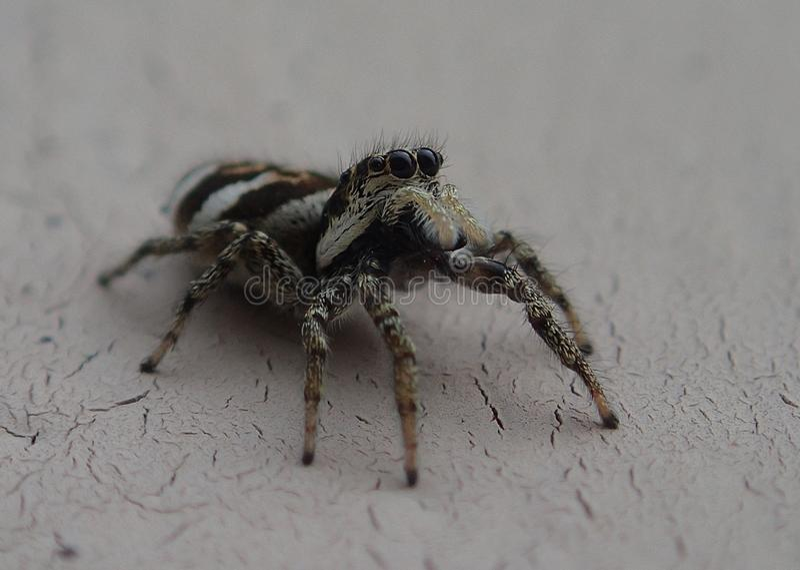 Piccolo ragno di salto a strisce su una parete del metallo fotografia stock libera da diritti