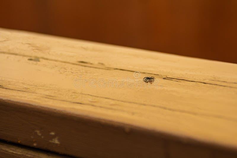 Piccolo ragno di salto su un pezzo di legno fotografia stock