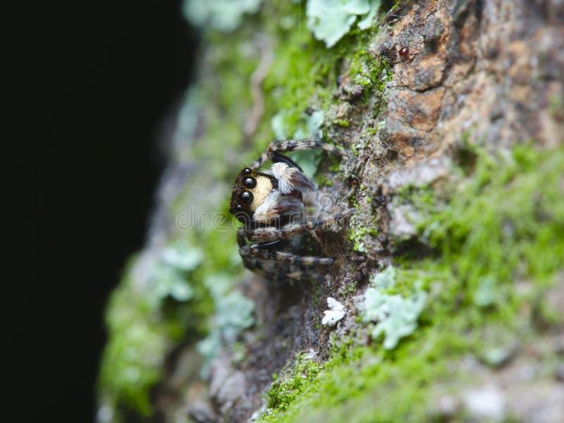 Piccolo ragno di salto sul legno muscoso fotografia stock libera da diritti
