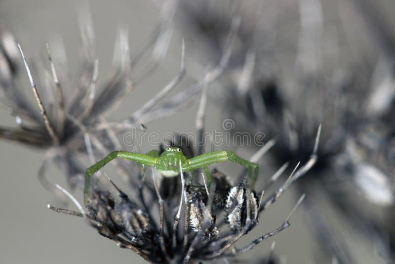 Piccolo ragno verde sulle piante immagine stock