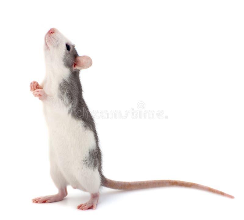 Piccolo ratto decorativo sveglio che sta sul retro delle zampe immagini stock libere da diritti