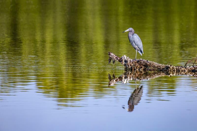 Piccolo resti dell'airone blu - isola di Sanibel, Florida fotografie stock libere da diritti
