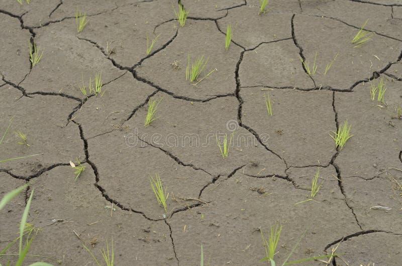 Piccolo riso Seedlinks che dà una occhiata dal suolo incrinato fotografia stock libera da diritti