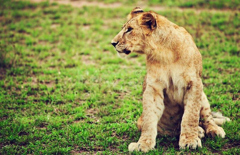 Piccolo ritratto del cucciolo di leone. La Tanzania, Africa fotografie stock libere da diritti