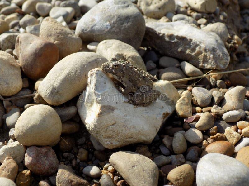 Piccolo rospo che si siede su una roccia fotografia stock libera da diritti