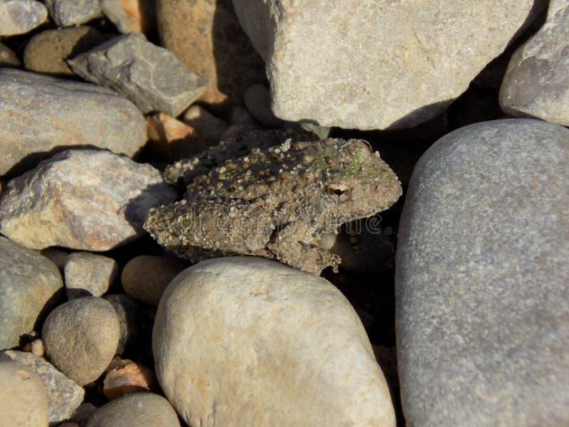 Piccolo rospo che si siede su una roccia immagine stock