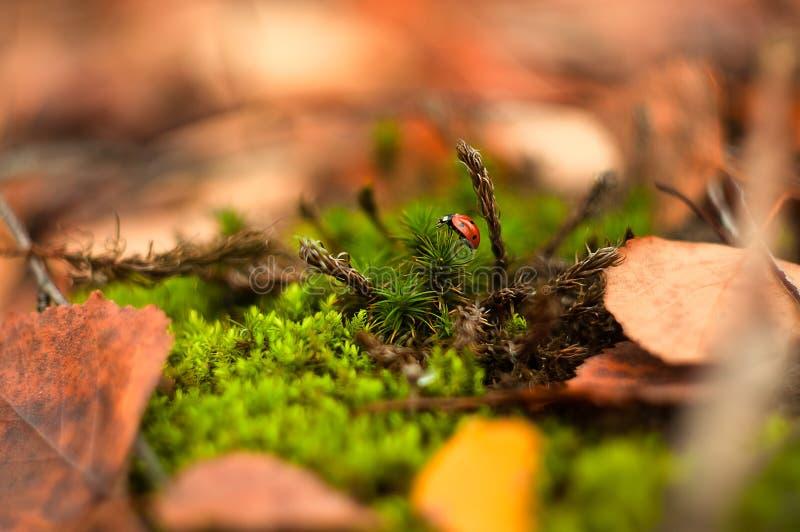 Piccolo scarabeo rosso che striscia sul muschio immagine stock libera da diritti