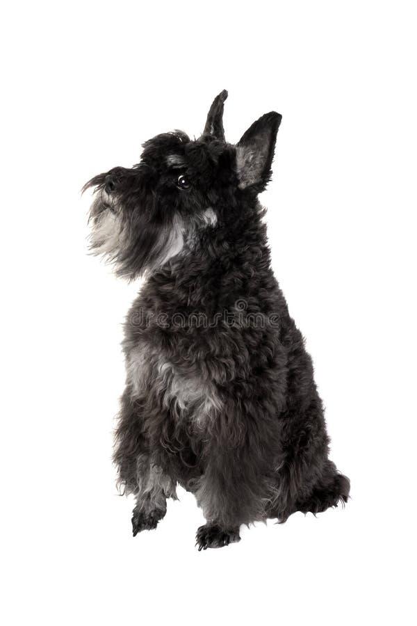 Piccolo schnauzer miniatura del cane nero isolato sul backgrou bianco fotografia stock