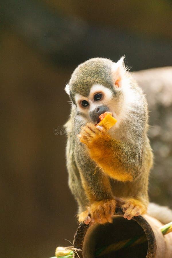 Piccolo scimmia che mangia frutta sull'albero fotografie stock libere da diritti