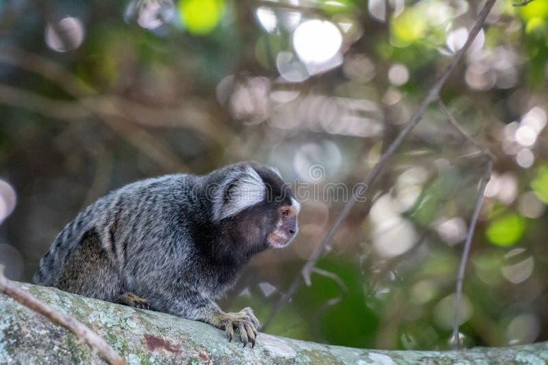 """Piccolo scimmia conosciuta popolare come il Sagittario dalla coda bianca, jacchus del Callithrix, """"Bosque nel parco del da Barra  fotografia stock"""