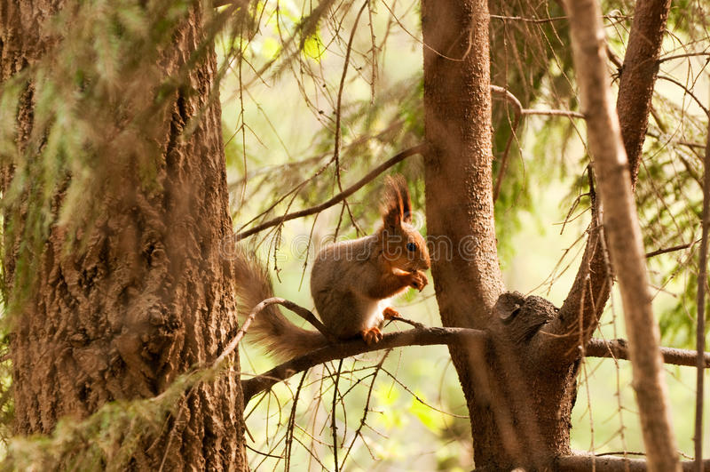 Piccolo scoiattolo che mangia noce immagine stock libera da diritti