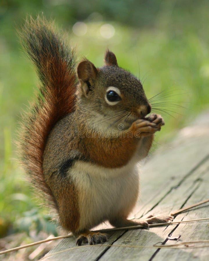 Piccolo scoiattolo rosso fotografia stock