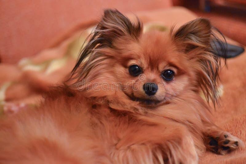 Piccolo Spitz marrone di razza del cane con peli lunghi immagine stock libera da diritti