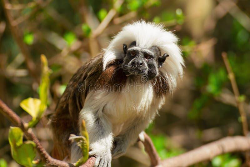 Piccolo Tamarin della scimmia della foto in corona dell'albero immagini stock libere da diritti