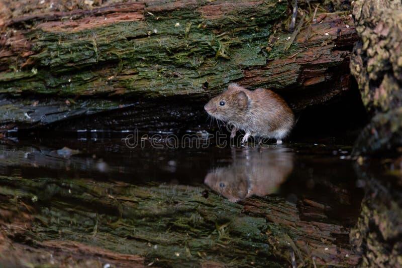 Piccolo topo attento nervoso riflesso in acqua immagine stock