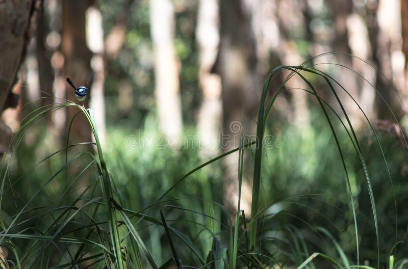Piccolo uccello blu che si siede su una foglia dell'erba fotografia stock