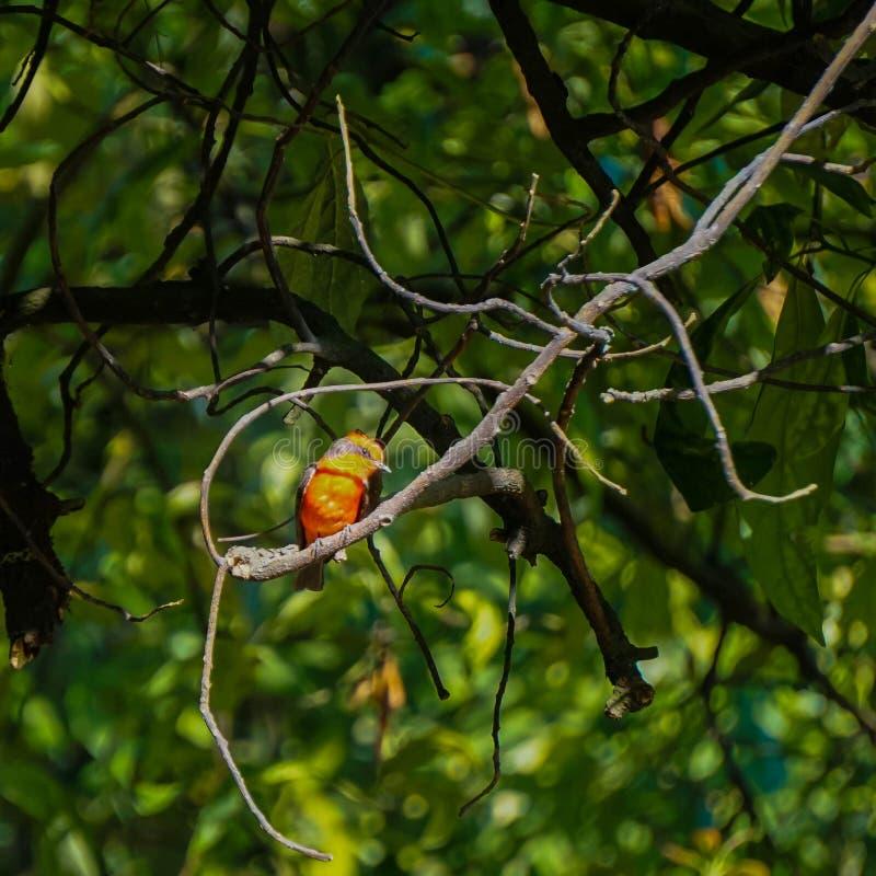 Piccolo uccello con rosso ed il nero fotografie stock