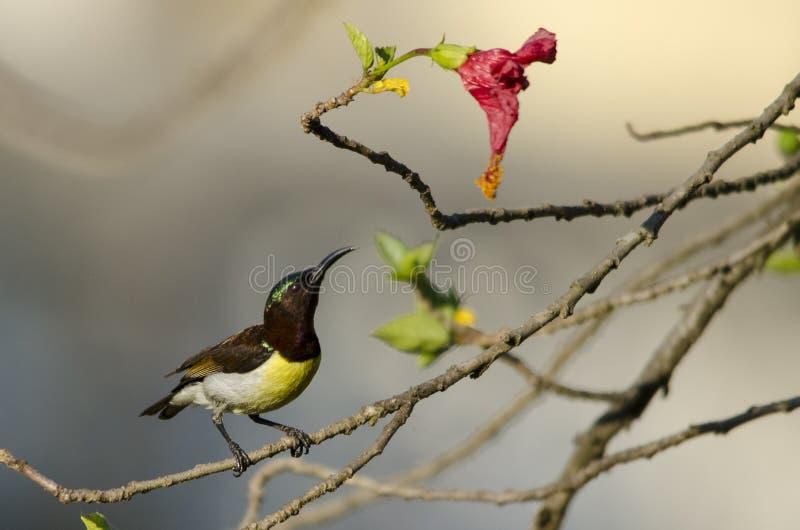 Piccolo uccello dell'indiano porpora-rumped di sunbird fotografia stock libera da diritti
