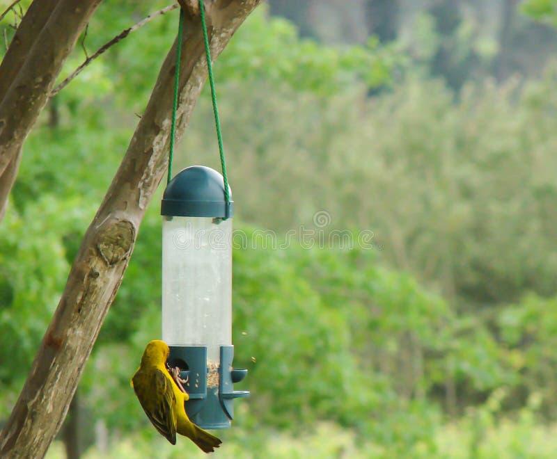 Piccolo uccello giallo che mangia alcuni semi dell'uccello fotografia stock libera da diritti