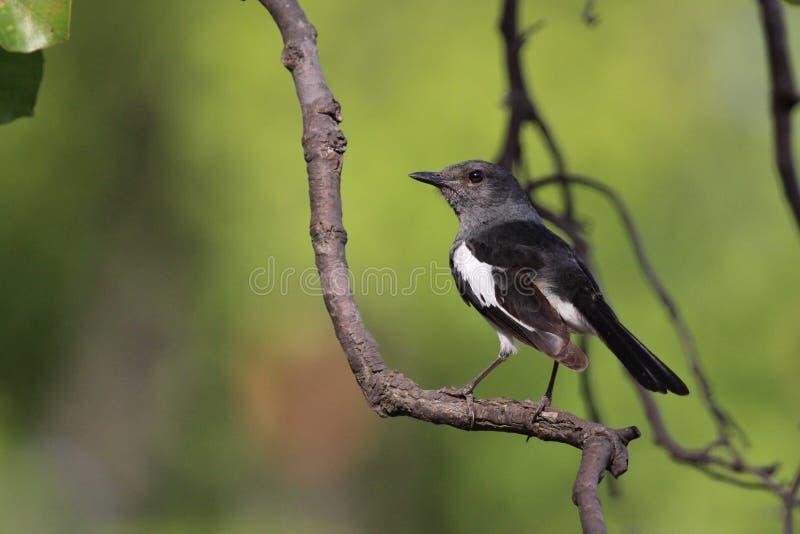 Piccolo uccello indiano selvaggio dolce fotografie stock libere da diritti