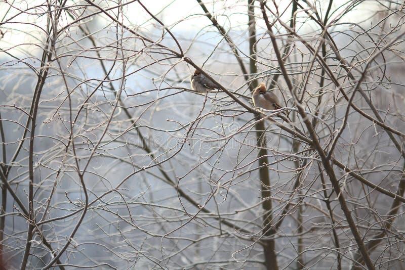 Piccolo uccello nell'inverno freddo contro balckground fotografia stock