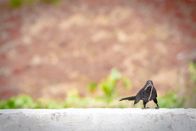 Piccolo uccello nero con il verme in bocca immagini stock
