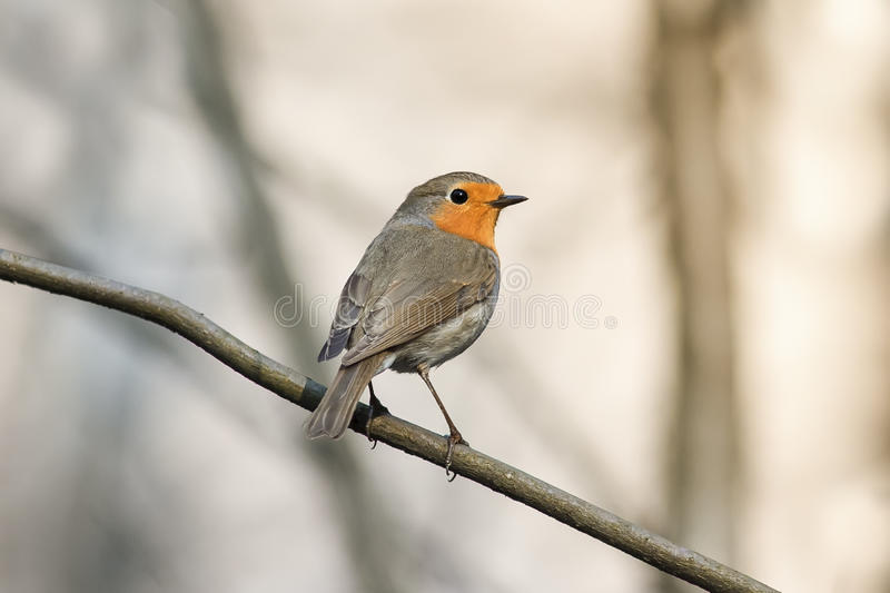 Piccolo uccello Robin nel parco di primavera fotografie stock