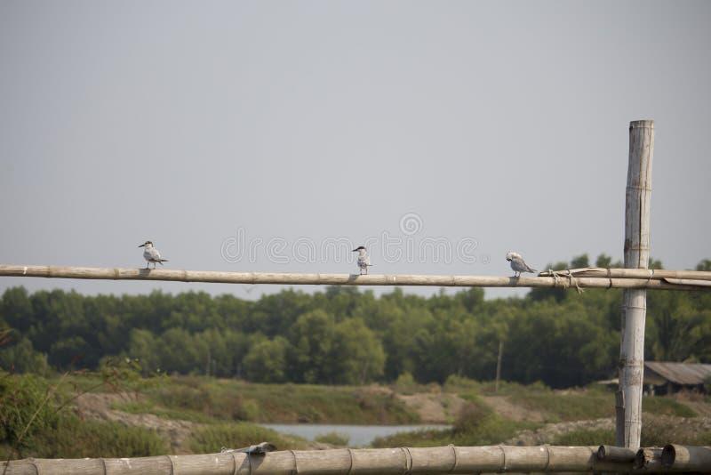 Piccolo uccello su bambù in Asia fotografia stock