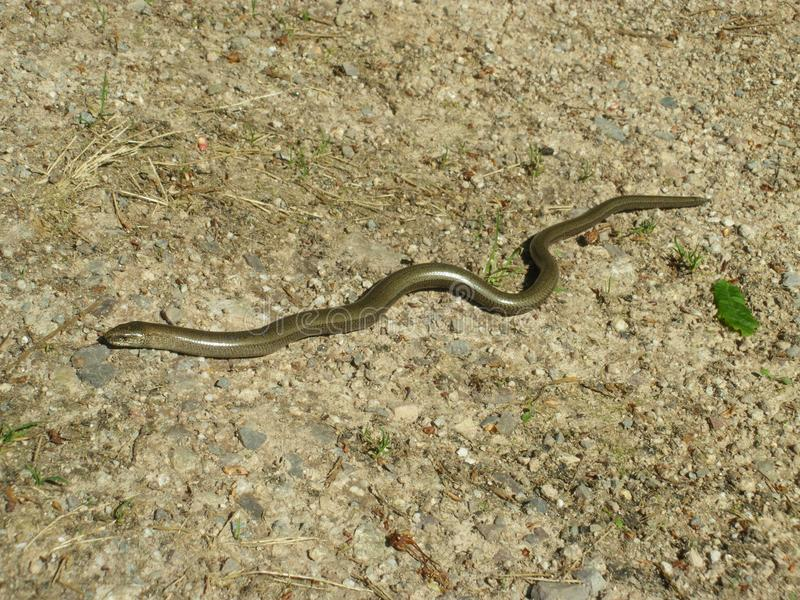 Piccolo verme lento che si trova sulla sabbia fotografia stock
