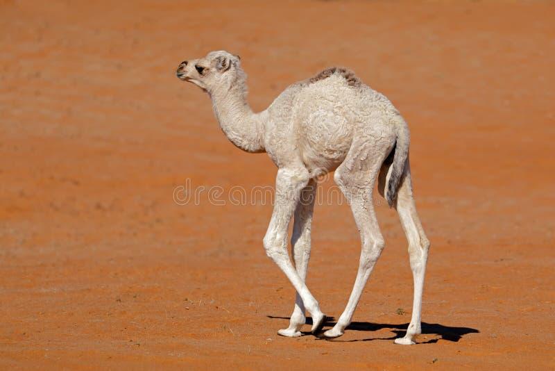 Piccolo vitello del cammello su una duna di sabbia fotografia stock libera da diritti