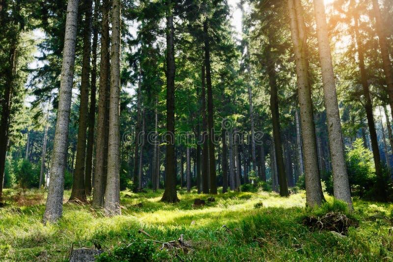 Picea спрусов abies расти в вечнозеленом coniferous лесе в парке ландшафта гор сыча, Sudetes, Польше стоковое фото rf